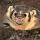 honeybadger snarl